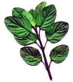 Pudhina or Mint